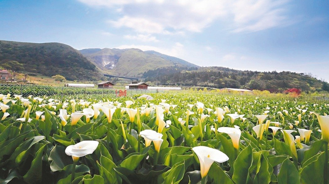 Picking calla lilies in Zhuzihu(bamboo lake)