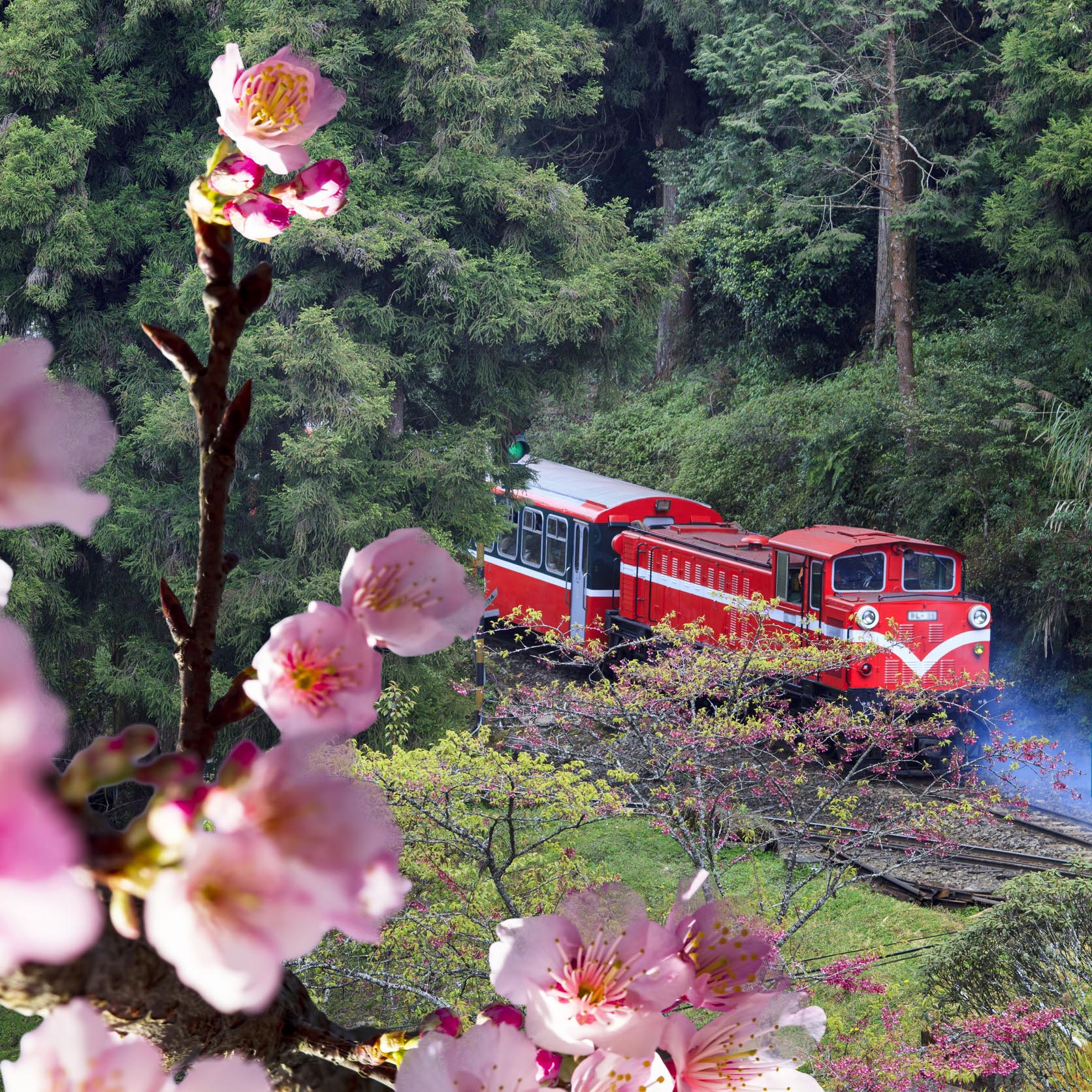 【Taiwan Tour】Find Sakura in Alishan