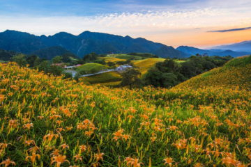【Taiwan Tour】Wandering in The Flower Sea of Orange Daylily