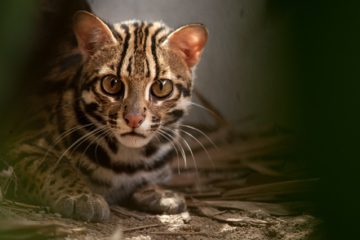【About Taiwan】Please Don't Leave Us – Taiwan's Endangered Species: Leopard Cat